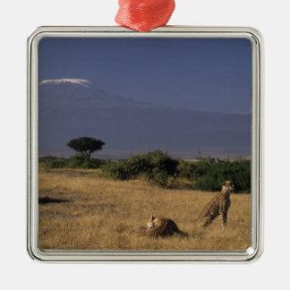 Kenia Amboseli dos guepardos Acinonyx Ornato