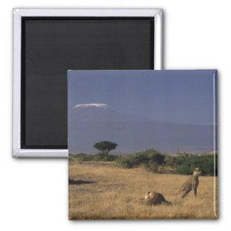 Kenia: Amboseli, dos guepardos ('Acinonyx Iman Para Frigorífico