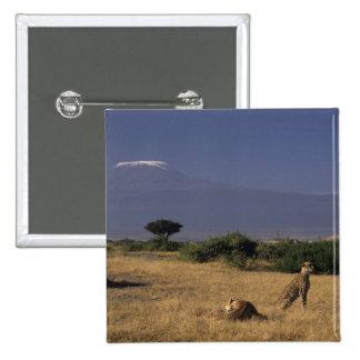 Kenia: Amboseli, dos guepardos ('Acinonyx Pin Cuadrado