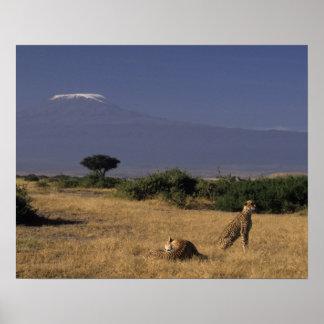 Kenia: Amboseli, dos guepardos ('Acinonyx Póster