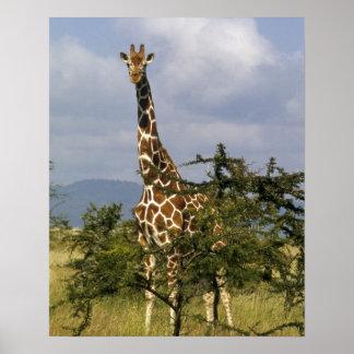 Kenia: Conservación de la fauna de Lewa, reticulad Impresiones