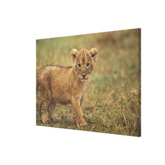 Kenia. León Cub (Panthera Leo) Impresiones En Lona