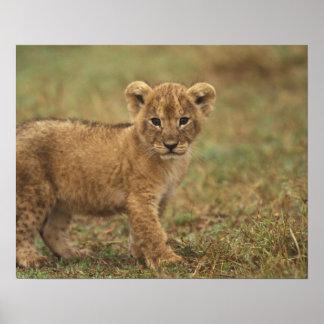 Kenia. León Cub (Panthera Leo) Póster