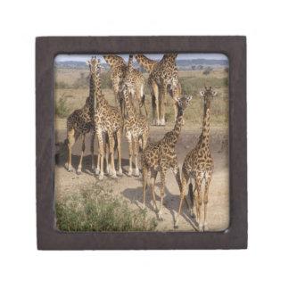 Kenia: Manada de la reserva del juego de Mara del  Cajas De Joyas De Calidad