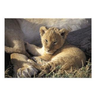 Kenia, Masai Mara. Cachorro de león viejo de seis  Fotografías