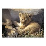 Kenia, Masai Mara. Cachorro de león viejo de seis  Arte Fotográfico