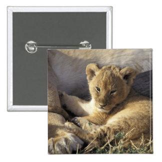Kenia, Masai Mara. Cachorro de león viejo de seis  Pin Cuadrado