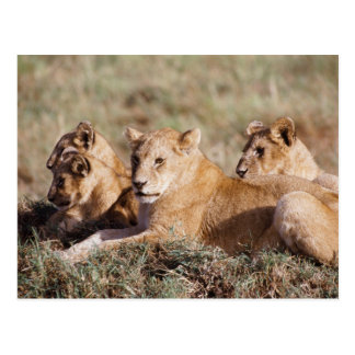 Kenia, Masai Mara, león Cubs Tarjetas Postales
