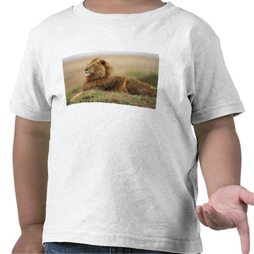 Kenia, Masai Mara. León del varón adulto en Camiseta