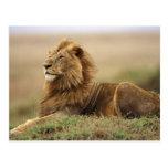 Kenia, Masai Mara. León del varón adulto en Tarjeta Postal