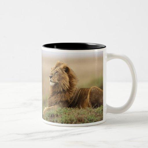 Kenia, Masai Mara. León del varón adulto en Taza De Café De Dos Colores