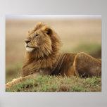 Kenia, Masai Mara. León del varón adulto en termit Póster