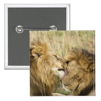 Kenia, Masai Mara. Primer de un león masculino Pin Cuadrado