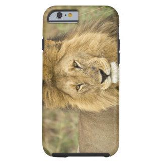 Kenia Masai Mara Primer del león Crédito como