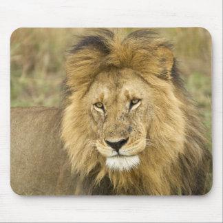 Kenia, Masai Mara. Primer del león. Crédito como: Alfombrilla De Raton