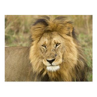 Kenia, Masai Mara. Primer del león. Crédito como: Postal