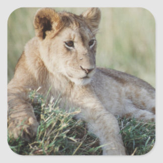 Kenia, Masai Mara, sentada de Cubs de león Pegatina Cuadrada