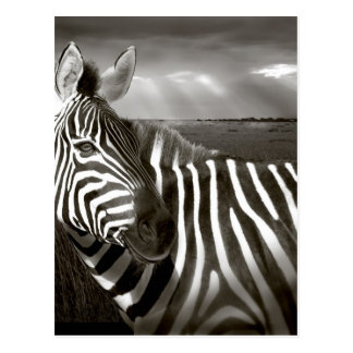 Kenia. Negro y blanco de la cebra y del llano Tarjeta Postal