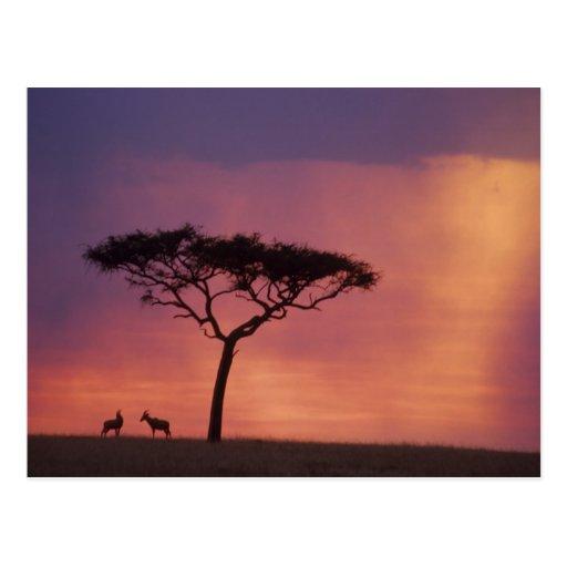 Kenia: Parque nacional de Mara del Masai, puesta Postal