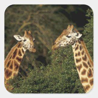Kenia: Parque nacional de Nakuru del lago, Pegatina Cuadrada