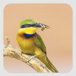 Kenia. Primer del pequeño pájaro del abeja-comedor Pegatina Cuadradas