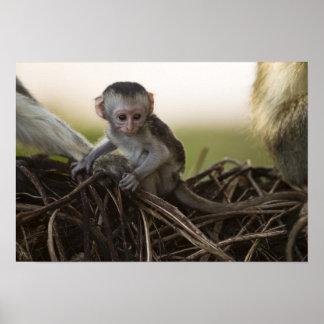 Kenia, reserva del juego de Samburu. Mono de Verve Póster
