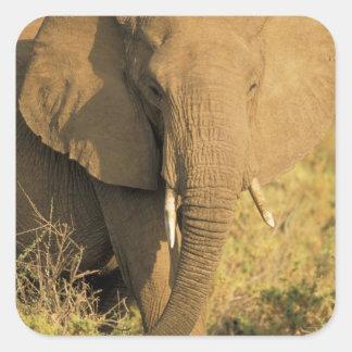 Kenia, reserva nacional de Samburu. Africano Pegatina Cuadrada