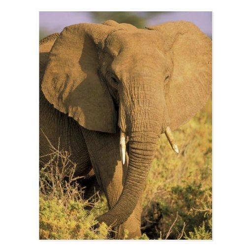 Kenia, reserva nacional de Samburu. Africano Postal