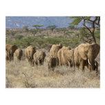 Kenia, reserva nacional de Samburu. Elefantes Postal
