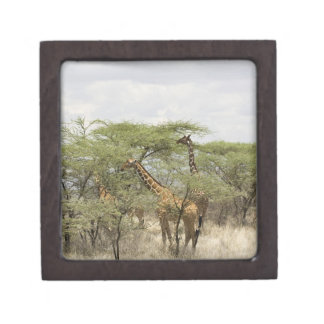 Kenia, reserva nacional de Samburu. Rothschild Cajas De Regalo De Calidad