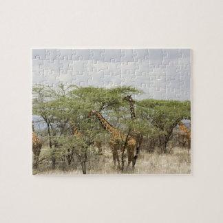 Kenia, reserva nacional de Samburu. Rothschild Puzzle Con Fotos