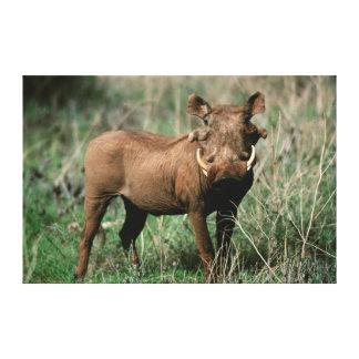 Kenia, Warthog que mira la cámara Impresion De Lienzo