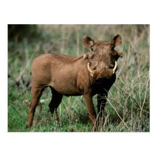 Kenia, Warthog que mira la cámara Postal