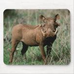 Kenia, Warthog que mira la cámara Alfombrillas De Raton