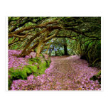 Kenmare Rhododendron Tunnel Post Card
