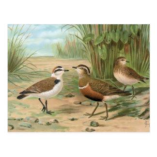 Kentish Plover and Eurasian Dotterel Postcard