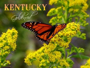 Kentucky State Flower: Goldenrod Postcard