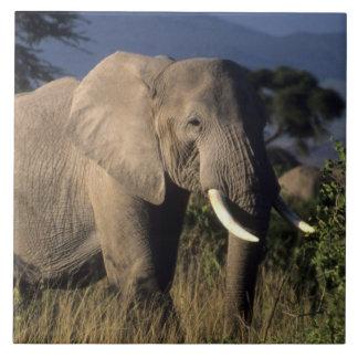 Kenya: Amboseli, male African elephant Tile