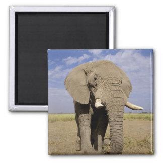 Kenya: Amboseli National Park, male elephant 2 Inch Square Magnet