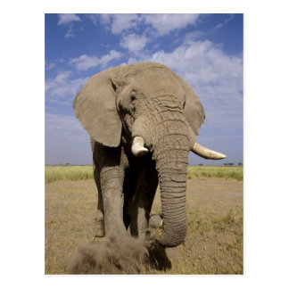 Kenya: Amboseli National Park, male elephant Postcard