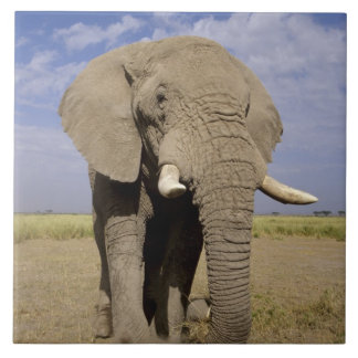 Kenya: Amboseli National Park, male elephant Tile