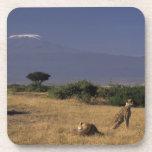 Kenya: Amboseli, two cheetahs ('Acinonyx Coasters