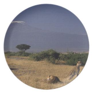 Kenya: Amboseli, two cheetahs ('Acinonyx Dinner Plate
