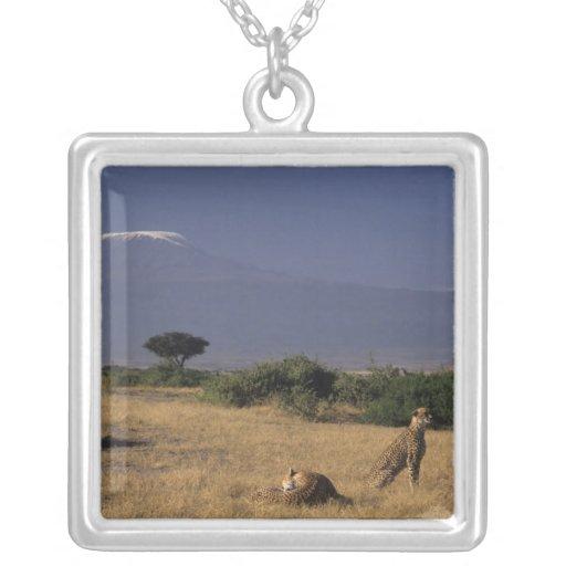 Kenya: Amboseli, two cheetahs ('Acinonyx Necklace