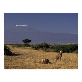 Kenya: Amboseli, two cheetahs ('Acinonyx Postcard