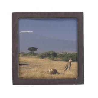 Kenya: Amboseli, two cheetahs ('Acinonyx Premium Gift Box