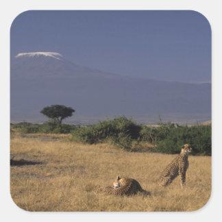 Kenya: Amboseli, two cheetahs ('Acinonyx Square Sticker