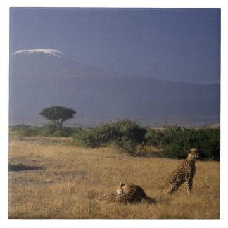 Kenya: Amboseli, two cheetahs ('Acinonyx Tile