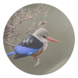 Kenya. Close-up of gray-headed kingfisher Dinner Plate