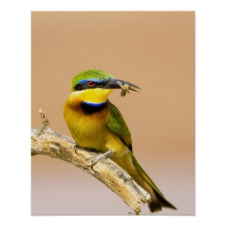 Kenya. Close-up of little bee-eater bird on limb Poster